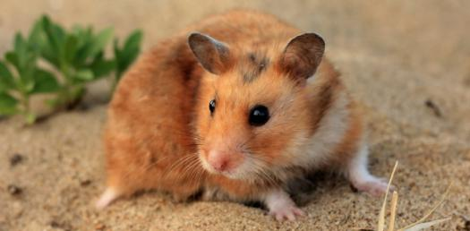 Wich Hamster Are You?