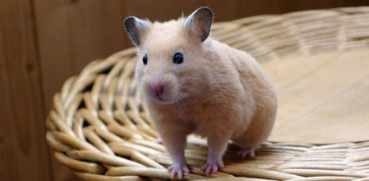 Are You A Good Hamster Owner?