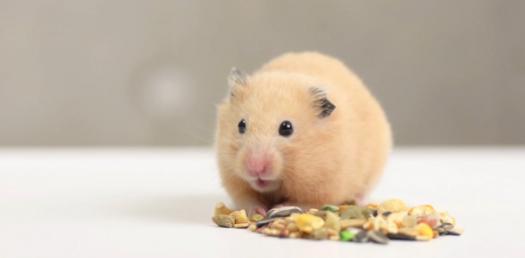Hamster Quiz!
