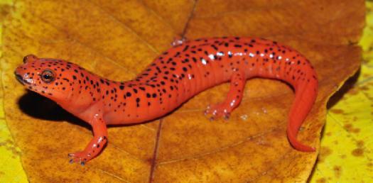 Florida Gaint Salamander