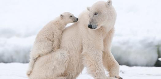 Penguins And Polar Bears Quiz