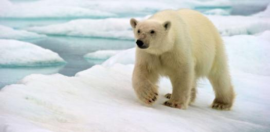 Polar Bear Phylogeny Quiz