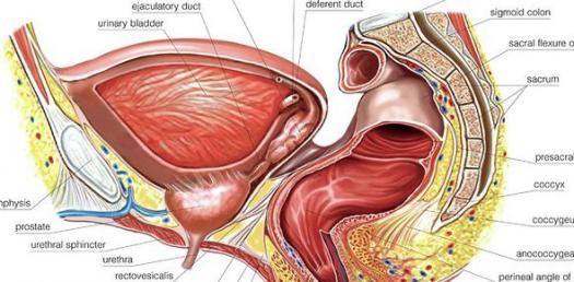 Anatomy Perineum pelvis BRS - Part 1