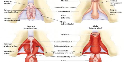 Lecture 3: Male And Female Perineum