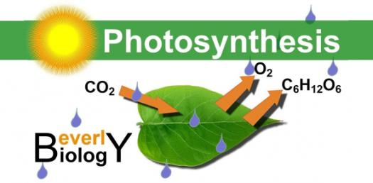 Honors Biology Photosynthesis Quiz!
