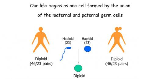 A General Meiosis Trivia Questions! Quiz