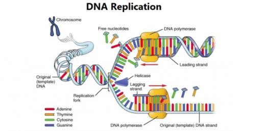 Dna Replication Practice Quiz