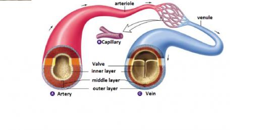 All About Arteries, Veins And Capillaries