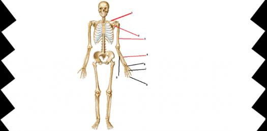 Identify Human Body Skeleton Parts Quiz!