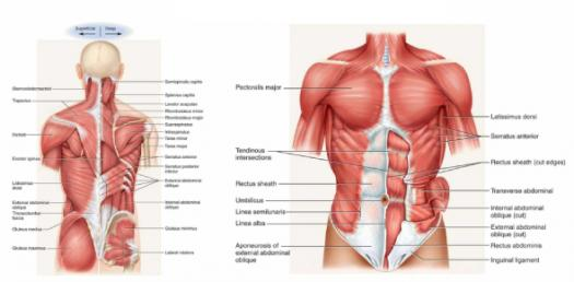 Muscle Anatomy And Physiology Test! Trivia Quiz