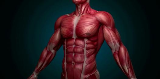 Muscular System Quizzes Online, Trivia, Questions & Answers