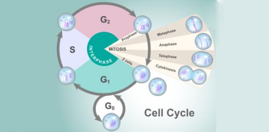 Mitosis And The Cell Cycle Quiz!