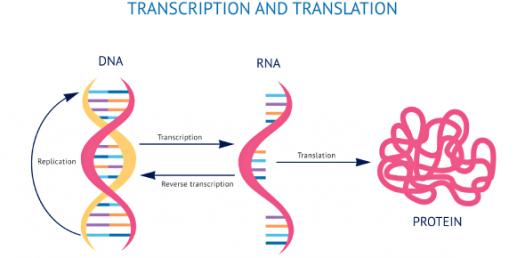 What Do You Know About DNA And RNA Transcription?