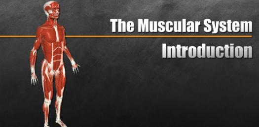 Introductory Musculatory System Trivia Quiz!