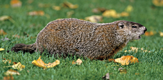 How Much Do You Know About Groundhog?