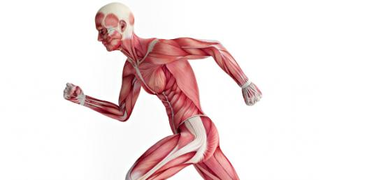 Quiz: Muscular System Trivia Test!
