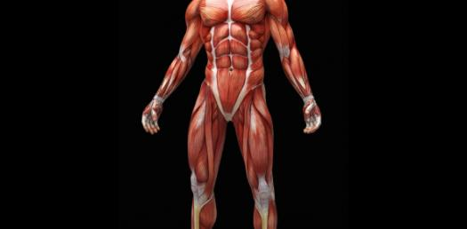 Trivia Quiz Questions On Muscular System