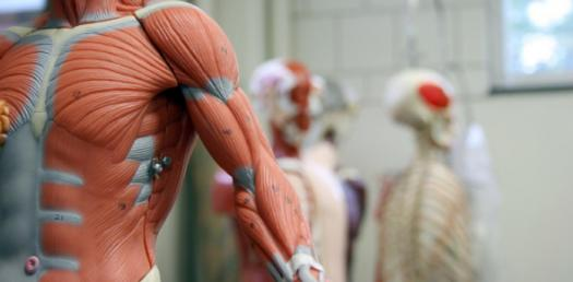 Quiz: Muscular System Trivia Questions