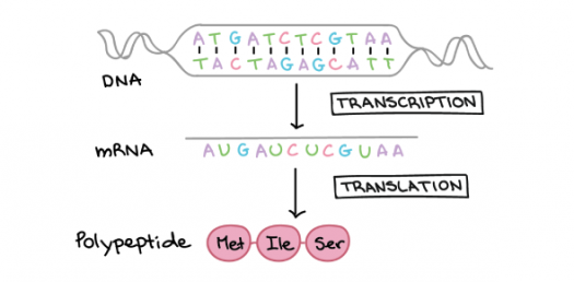 Biology Test: Transcription And Translation