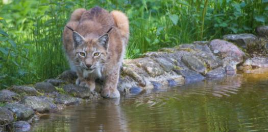 Which Wild Big Cat Are You?