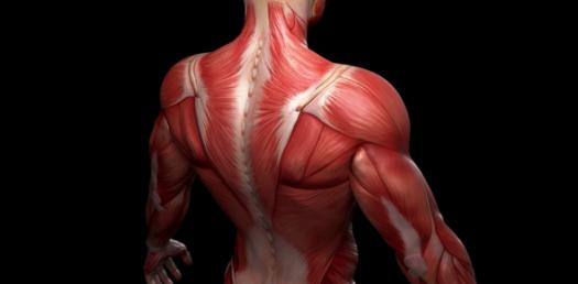 Quiz: Muscles Of The Trunk!