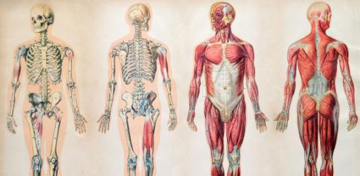 Human Anatomy Trivia Quiz: True And False Questions