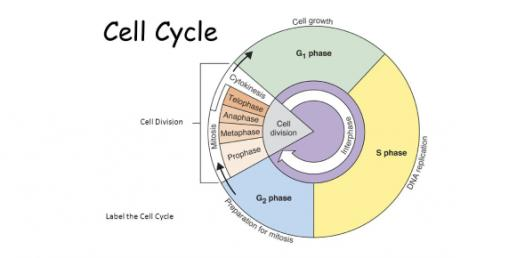 Biology Questions: Phases Of Cell Cycle!