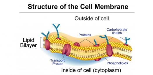 What Do You Know About The Plasma Membrane? Trivia Questions Quiz