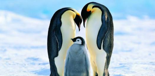The Life Cycle Of An Emperor Penguin