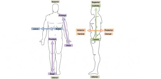 Quiz: Planes And Directions Of The Human Body