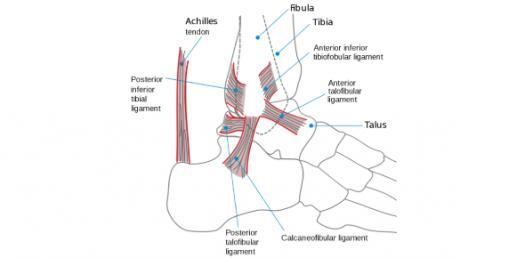 Test Your Knowledge About Ankle Joint Anatomy! Trivia Quiz