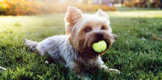 Can You Name These Toy Dog Breeds? Trivia Quiz