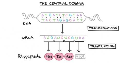 Translation: DNA To mRNA To Protein! Biology Trivia Quiz