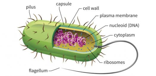 Quiz: Trivia Question On Bacteria Cell Structure