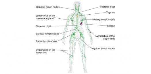 Lymphatic System Practice Questions Test Quiz!