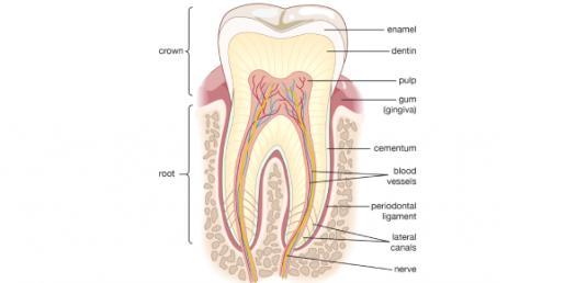Tooth Anatomy Basics! Trivia Quiz