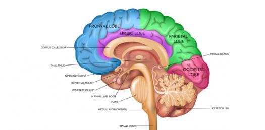 Anatomy And Physiology Of The Brain! Trivia Quiz