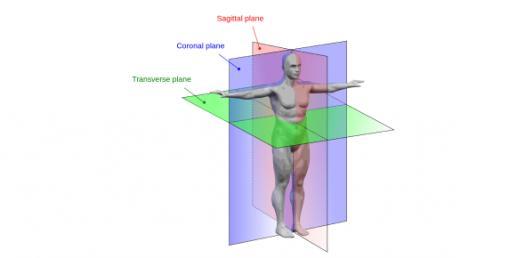 Anatomical Planes Of Human Body Vocabulary Trivia Quiz!