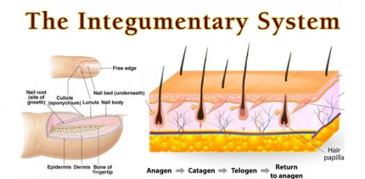 An Integumentary System Multiple Choice Quiz!