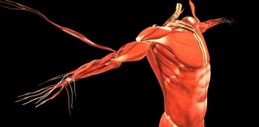 Biology Quiz: Muscular System Trivia Questions