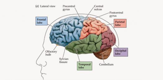 A Trivia Quiz On Neuroanatomy!