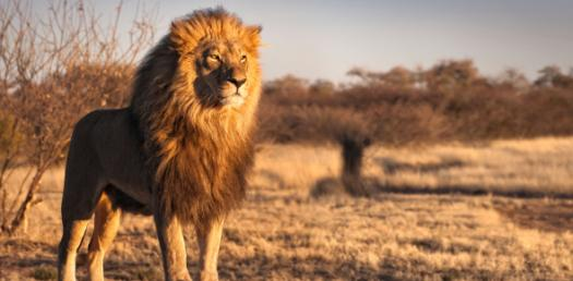 Quiz: Would You Survive Being A Lion?