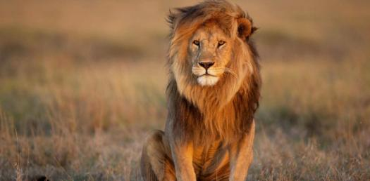 Quiz: What Do You Know About Lions 101?
