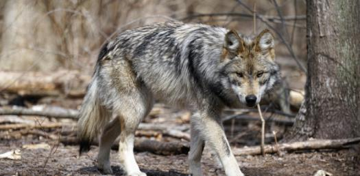 How Well Do You Know About Wolf? Trivia Quiz