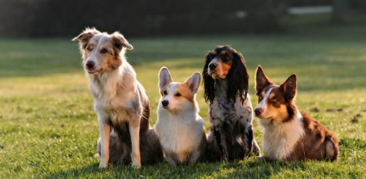 Dogs Basic Trivia Facts! Quiz