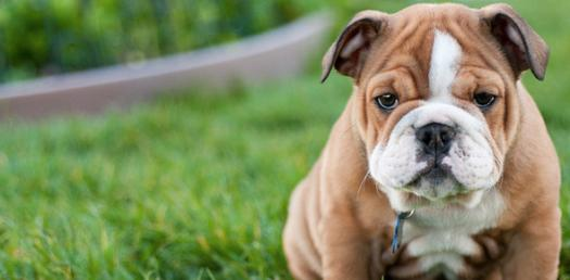 Dogs Trivia: Ultimate Questions Quiz