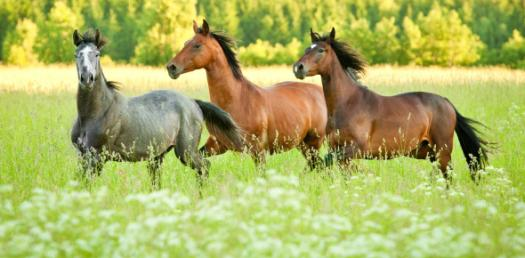 Can You Identify These Horse Breeds? Image Trivia Quiz