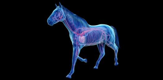 Trivia Facts: Horse Respiratory And Cardiovascular System! Quiz