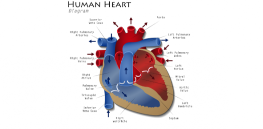 Human Heart Diagram: Identify The Parts! Trivia Quiz