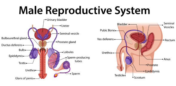 The Male Reproductive System Quiz!